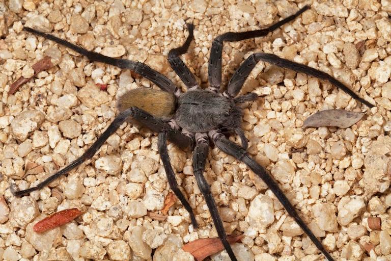 Araña Errante Sierra Cacachilas