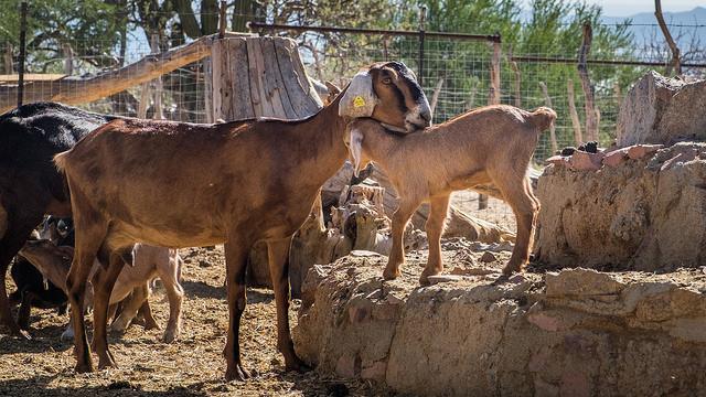 goat-insemination.jpg