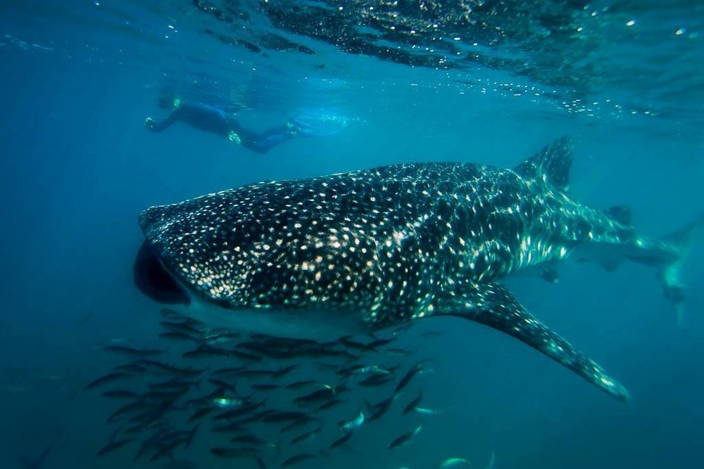 SEA OF CORTEZ - Experience the abundant marine life and spectacular beauty of the Sea of Cortez at a historic seaside resort with this perfect mountains to sea adventure tour add-on.