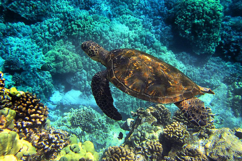 sea-turtle-547162 smaller.jpg
