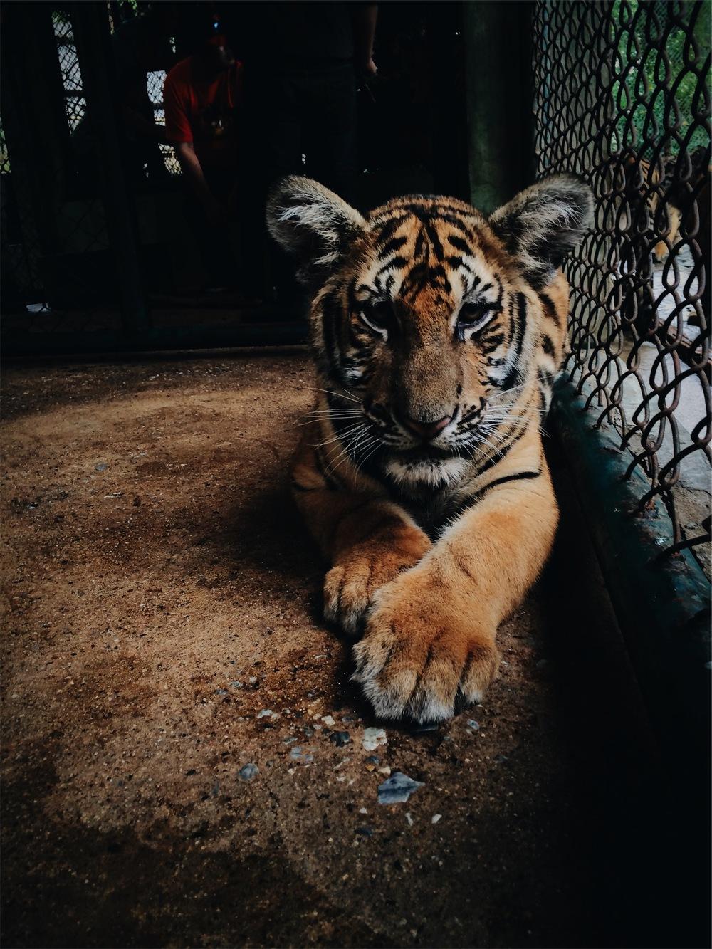 Tiger stock photo.jpeg
