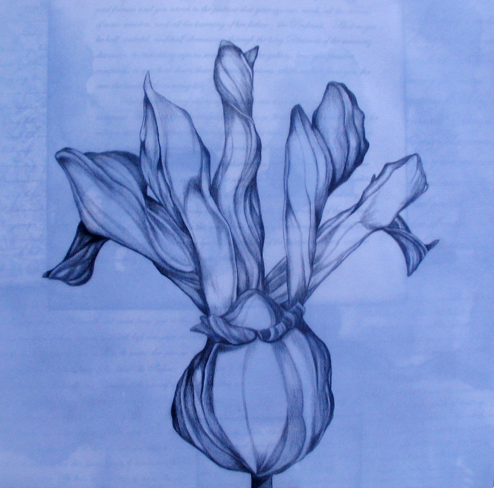 Spring Series: Iris, ebony pencil on vellum