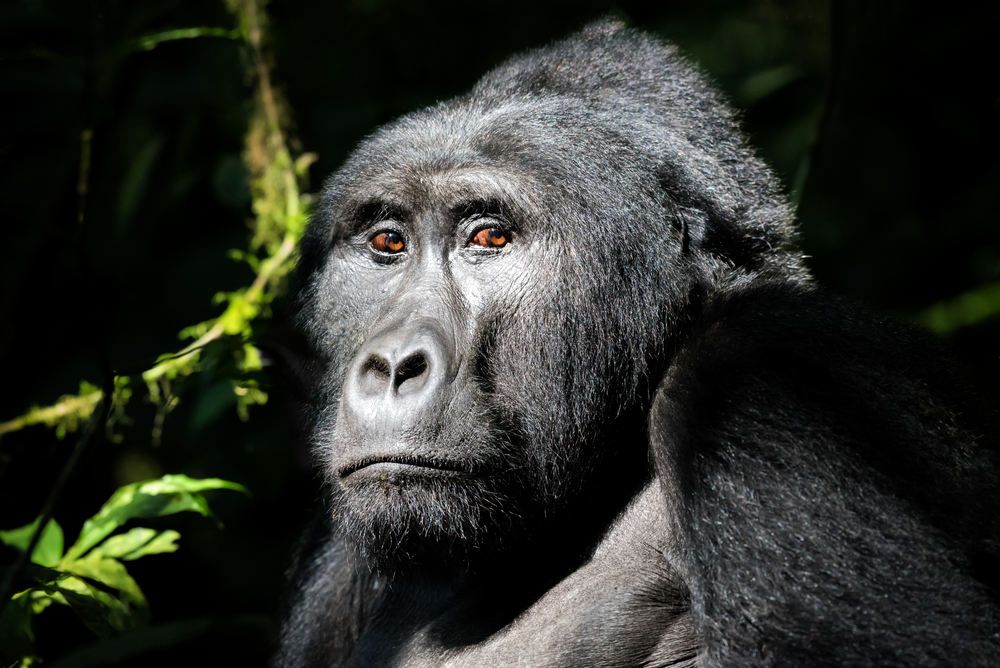 uganda-mountain-gorilla.jpg