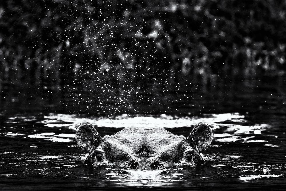 uganda-hippo.jpg