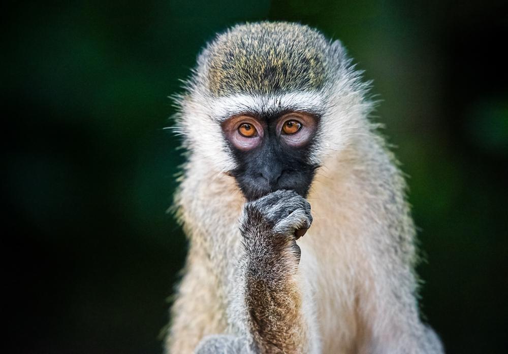 uganda-Vervet-monkey.jpg