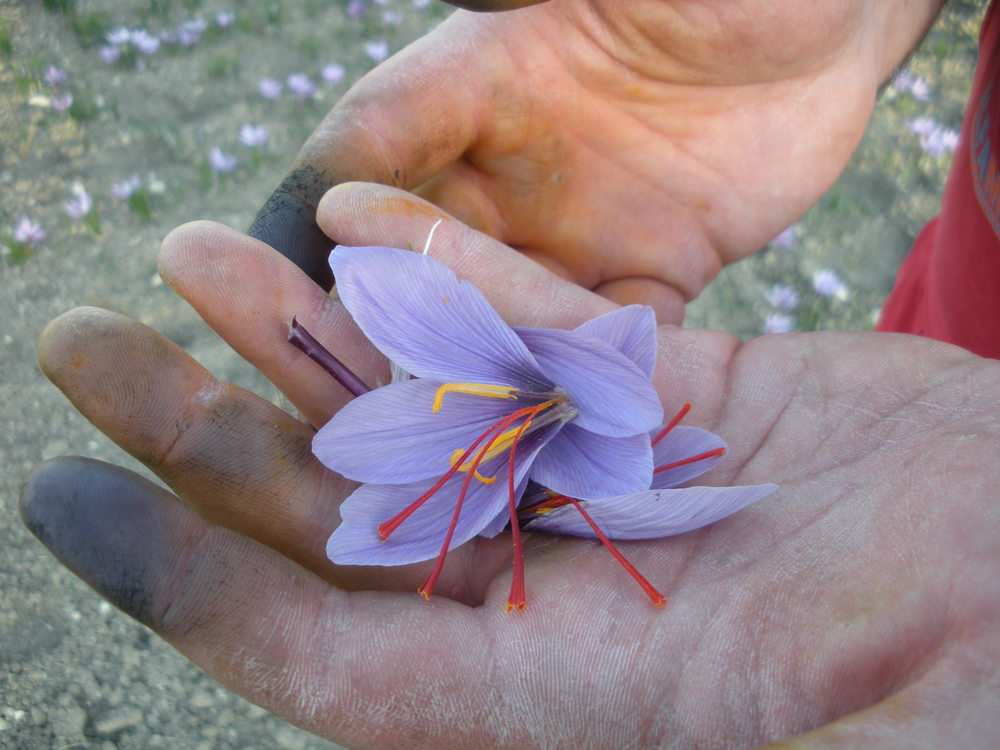 Saffron crocus - just picked!