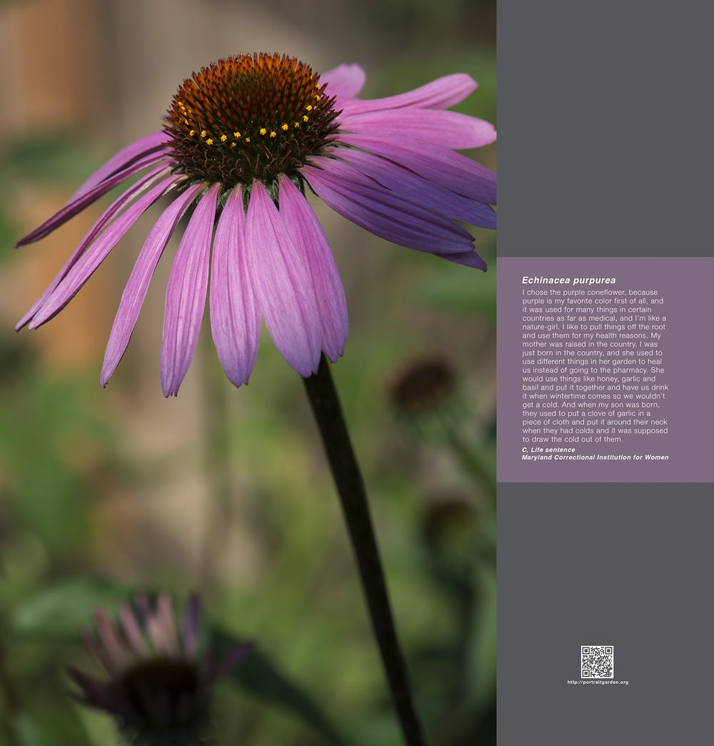 Portrait Garden (C, Enchinacea purpurea)
