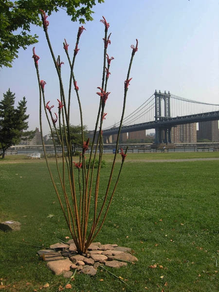 Ocotillo at the waterfront in Dumbo, Brooklyn, NY