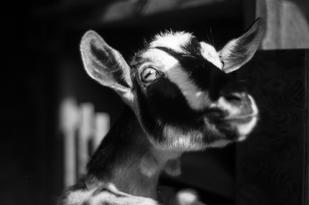 090914_Goat_AndrewFosterPhoto.jpg