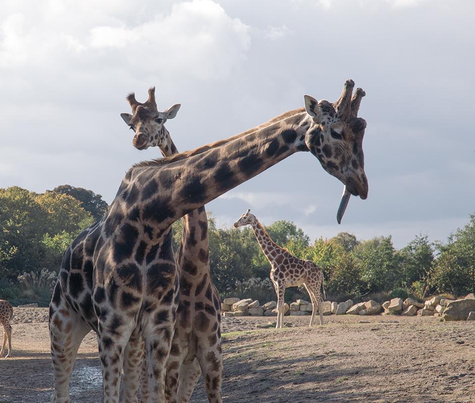 100514_GiraffesinDublinZoo_AndrewFosterPhoto.jpg