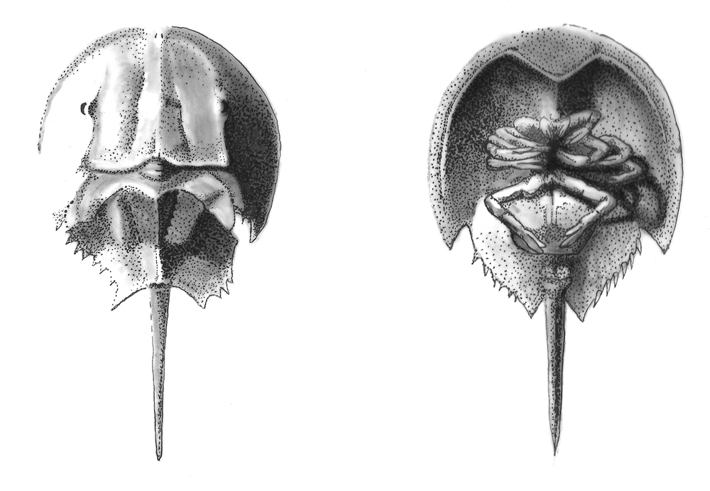 Horseshoe Crab Dorsal and Ventral c small.jpeg