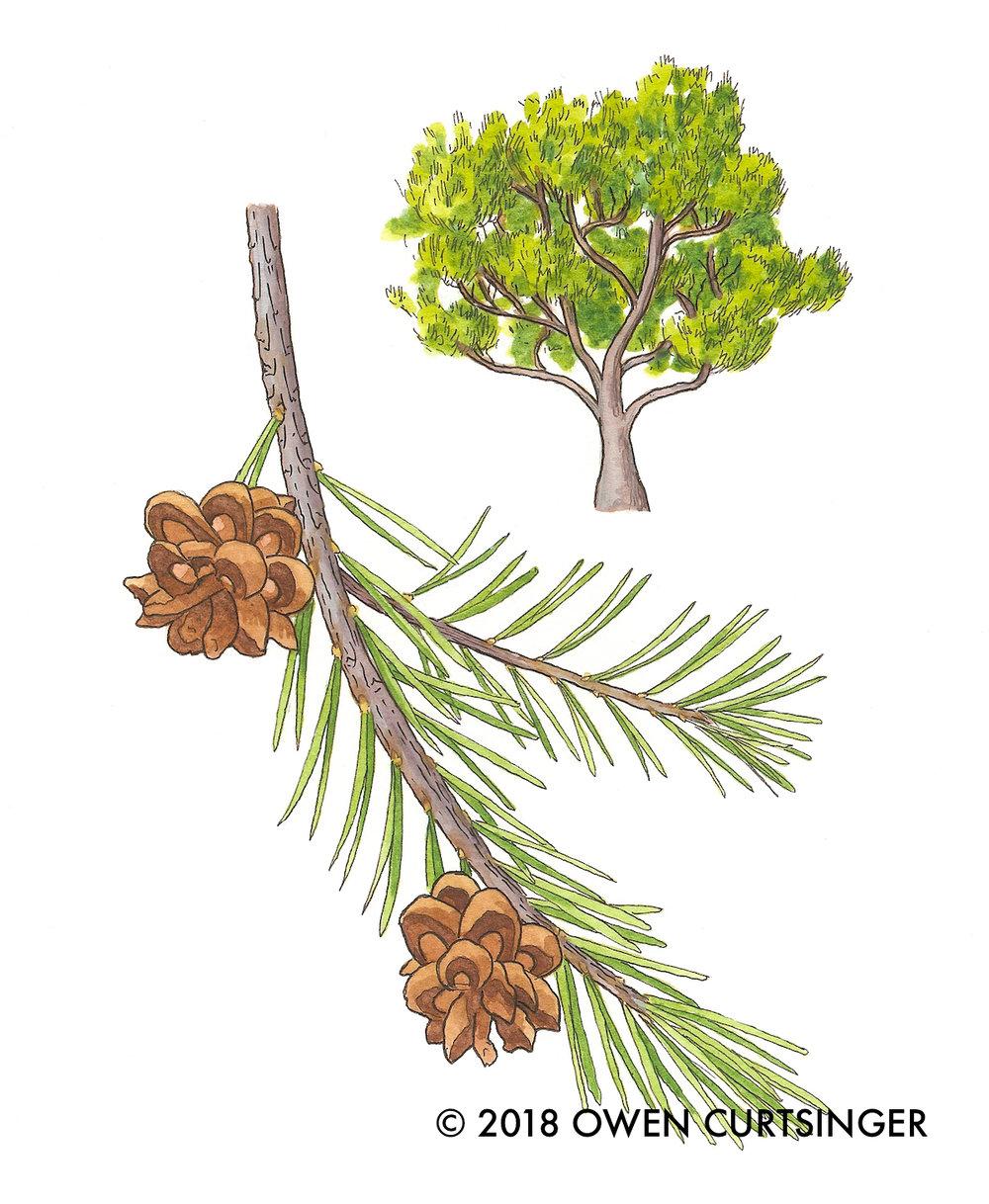 Pinus edulis 2 copy.jpg