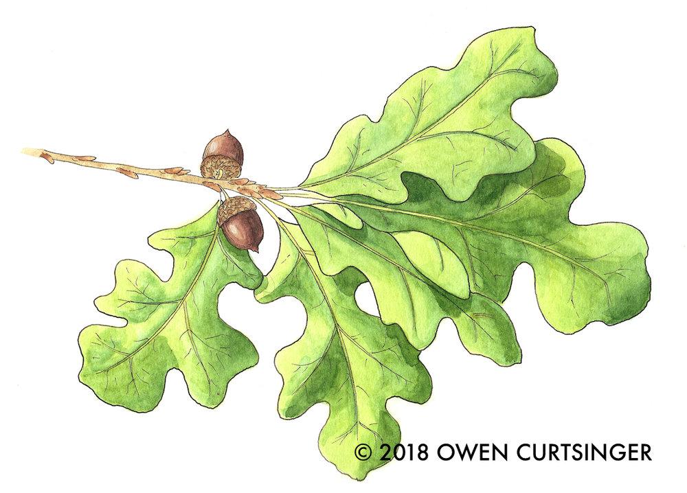Quercus stellata 2 copy.jpg