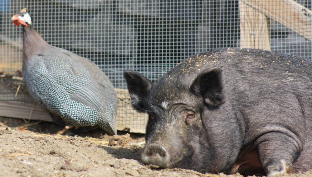 Truffles enjoys basking in the warmth of the sun with one of her guinea fowl friends. Photo courtesy of VINE Sanctuary