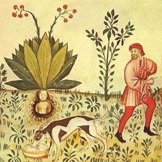 Because #mandrakes contain #deliriant #hallucinogenic #tropane #alkaloids and the shape of their roots often resembles human figures, they have been associated with a variety of #superstitious practices throughout history. They have long been used in #magic #rituals today also in contemporary #pagan traditions such as #Wicca and #Odinism.  The #root is hallucinogenic and #narcotic. In sufficient quantities, it induces a state of #unconsciousness and was used as an #anaesthetic for #surgery in #ancient times. In the past, juice from the finely grated root was applied externally to relieve #rheumatic pains. It was also used internally to treat #melancholy, #convulsions, and #mania. When taken internally in large doses, however, it is said to excite #delirium and #madness.  In the past, mandrake was often made into amulets which were believed to bring good fortune, cure #sterility, etc. In one superstition, people who pull up this root will be condemned to hell, and the mandrake root would scream as it was pulled from the ground, killing anyone who heard it. Therefore, in the past, people have tied the roots to the bodies of animals and then used these animals to pull the roots from the soil.