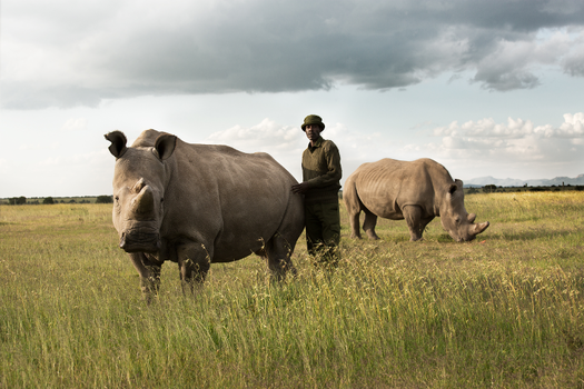 Figure: A guard at the Ol Pejeta Conservancy in Kenya stands with two of the world's last three Northern White Rhinos. Source: The Examiner.