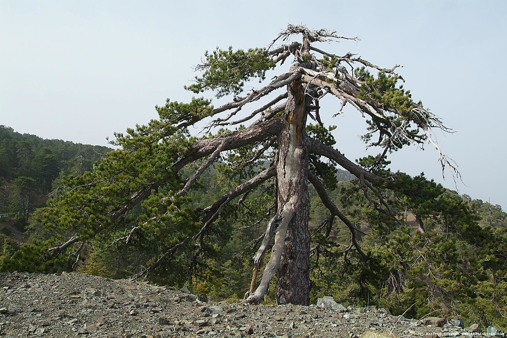 A pine from the Troodes mountains, Cyprus. Such old, high-altitude trees are well suited to dendrochronological study.
