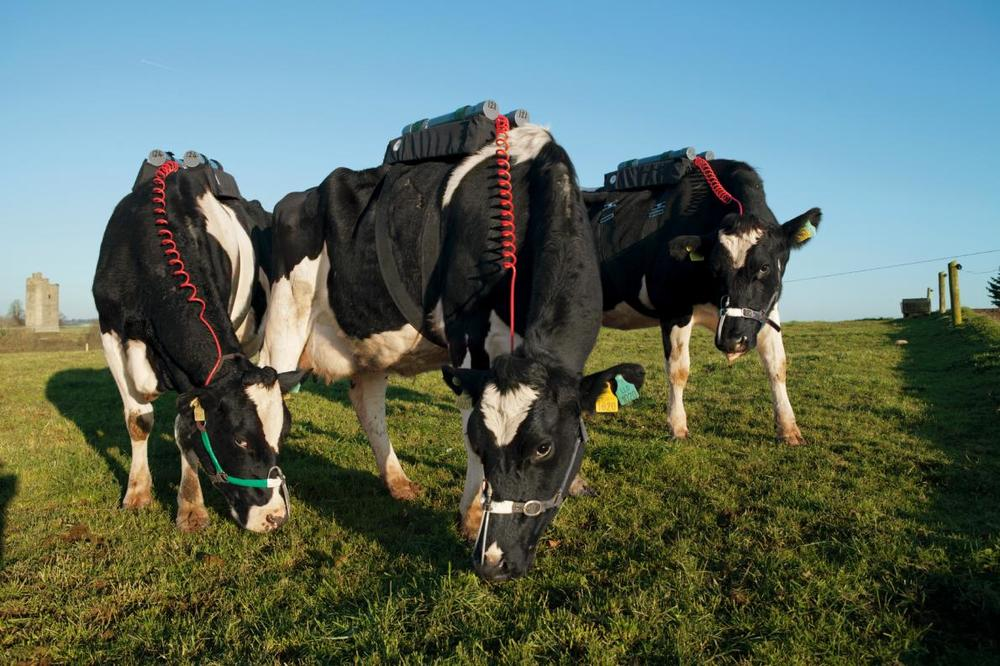 Photo 1: Cows carrying packs in experiment to measure their methane emissions.  Source: National Geographic, 2015.