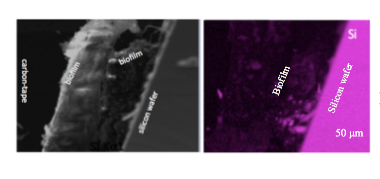 Fluorescent micrographs of Si incorporation in to EPS (biofilm) by nitrate-reducing  Thermovibrio ammonificans  [1]