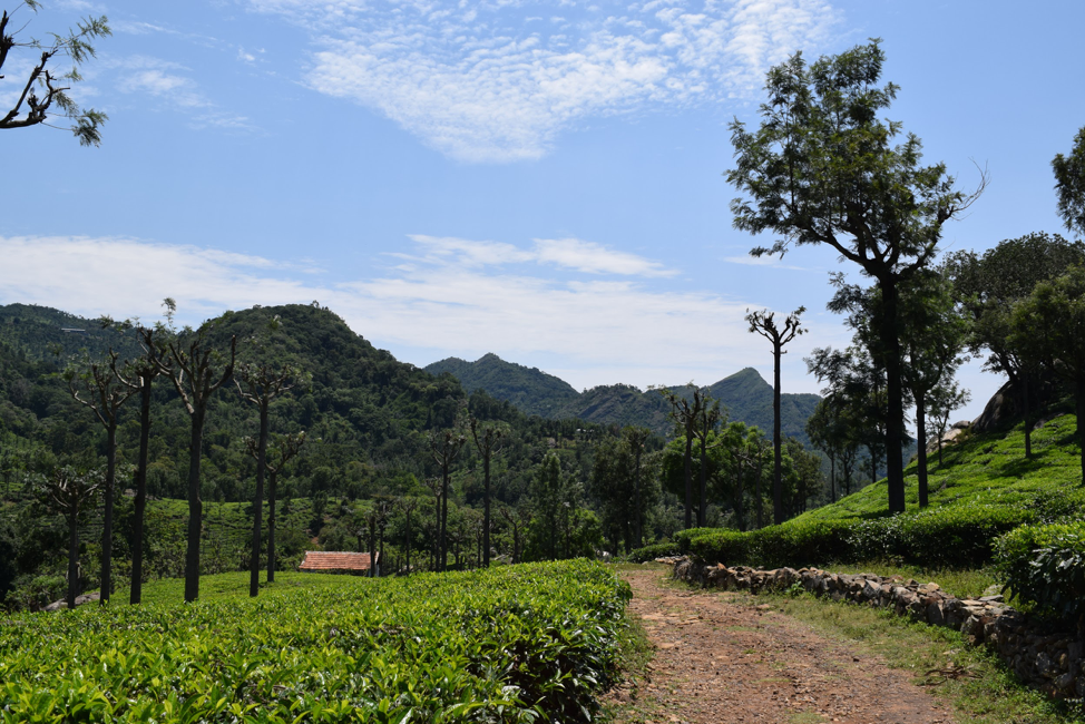 Photo from my art exhibit, Sensitivities. A visually pleasing photo of tea estates in the Nilgiri Mountains in Tamil Nadu. These tourist-friendly sceneries hide the layers of deforestation, corporate tea production, and the manipulation of indigenous labor to produce these tea estates