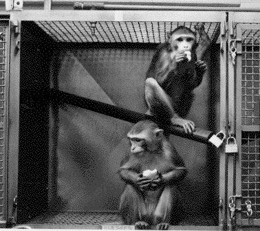 Two primates in a laboratory cage – a similar image to those shown by Nair during her presentation. USDA digital reproduction from  Wikimedia .