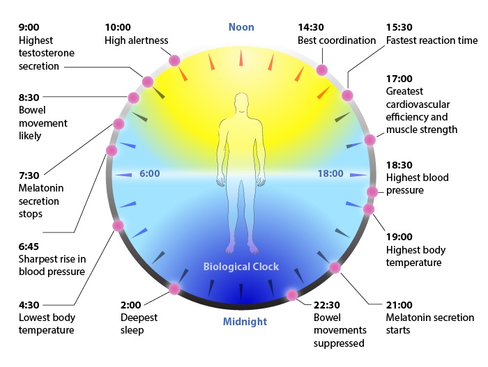 A visualisation of our natural biological clock. Note that ideally, melatonin secretion begins at 2100 hours, an hour or two before actual sleep. Using your devices during the secretion period supresses melatonin production, making falling asleep harder and more uncomfortable.