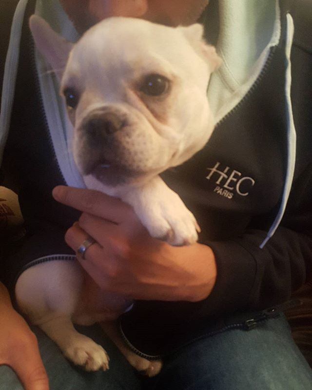 Meanwhile in downtown Austin, Texas, @Bowie_theBulldog snuggles into a very soft and warm #HECParis hoodie. Connecting with his roots, perhaps? 🇫🇷💙 #frenchiesofinstagram