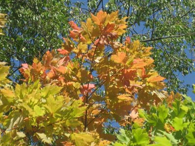 early_fall_leaves