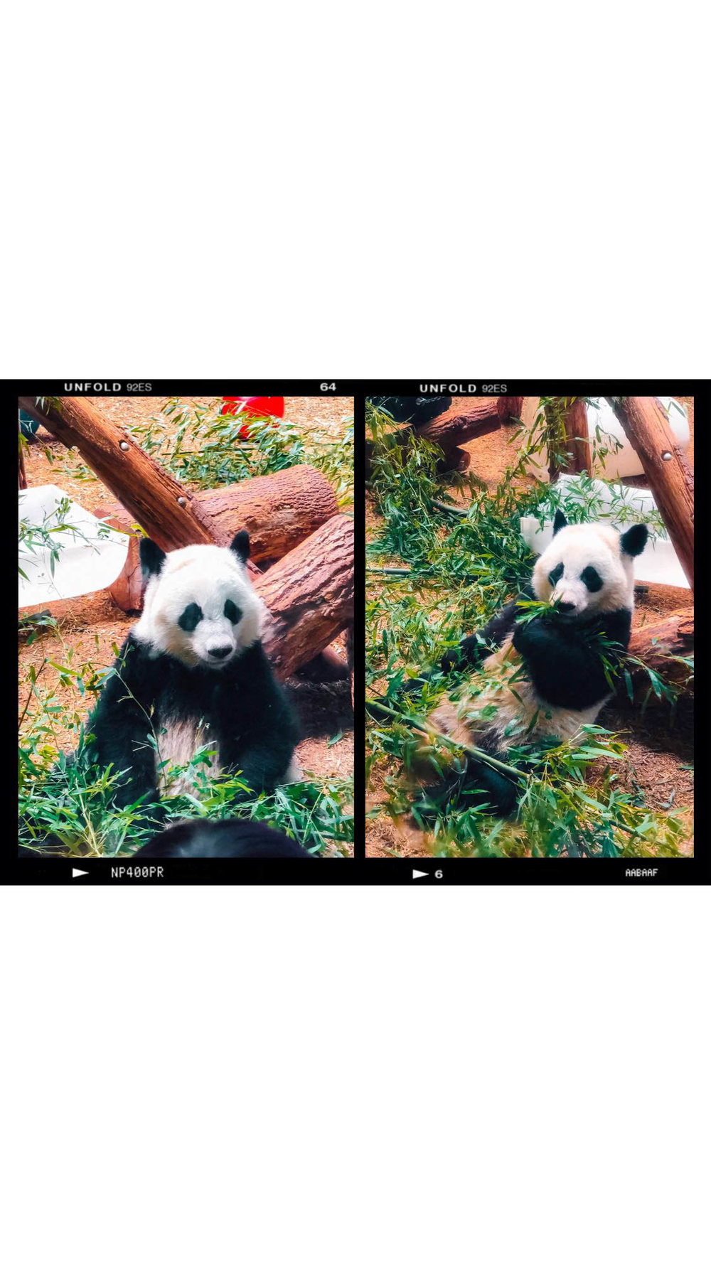 Pandas at Zoo Atlanta | What to Do in Atlanta | Jordan Hefler