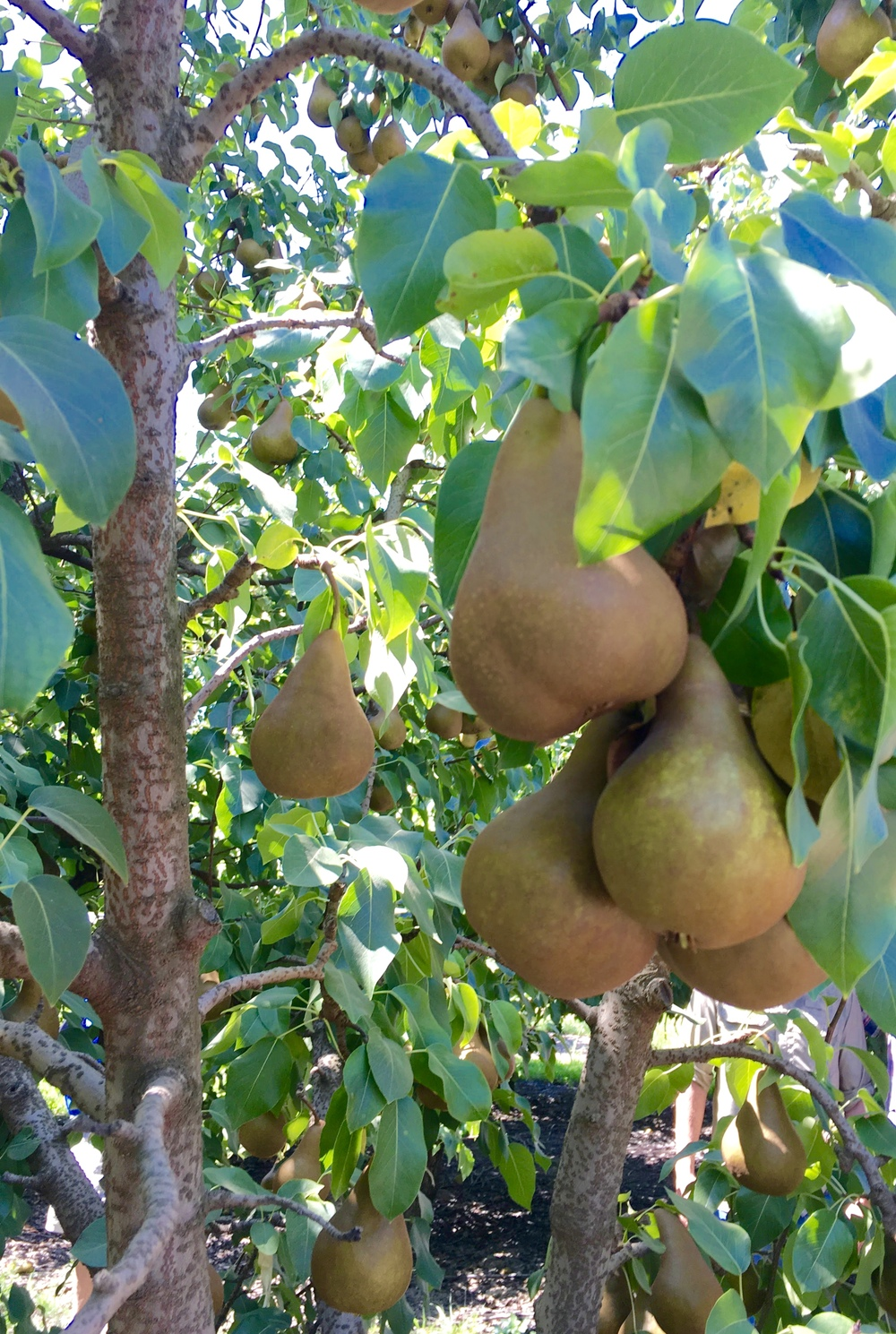 California Pear