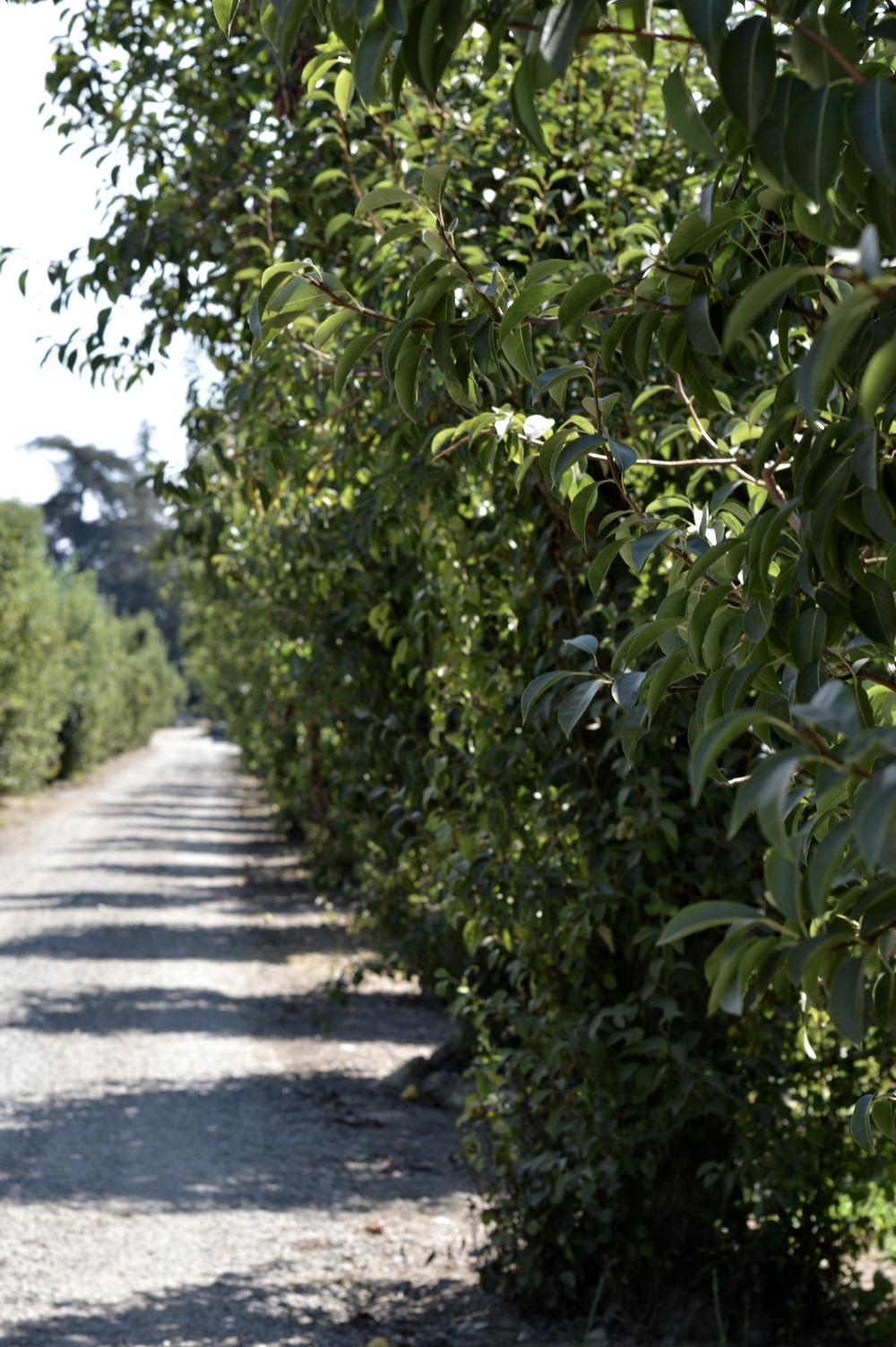CA Pear