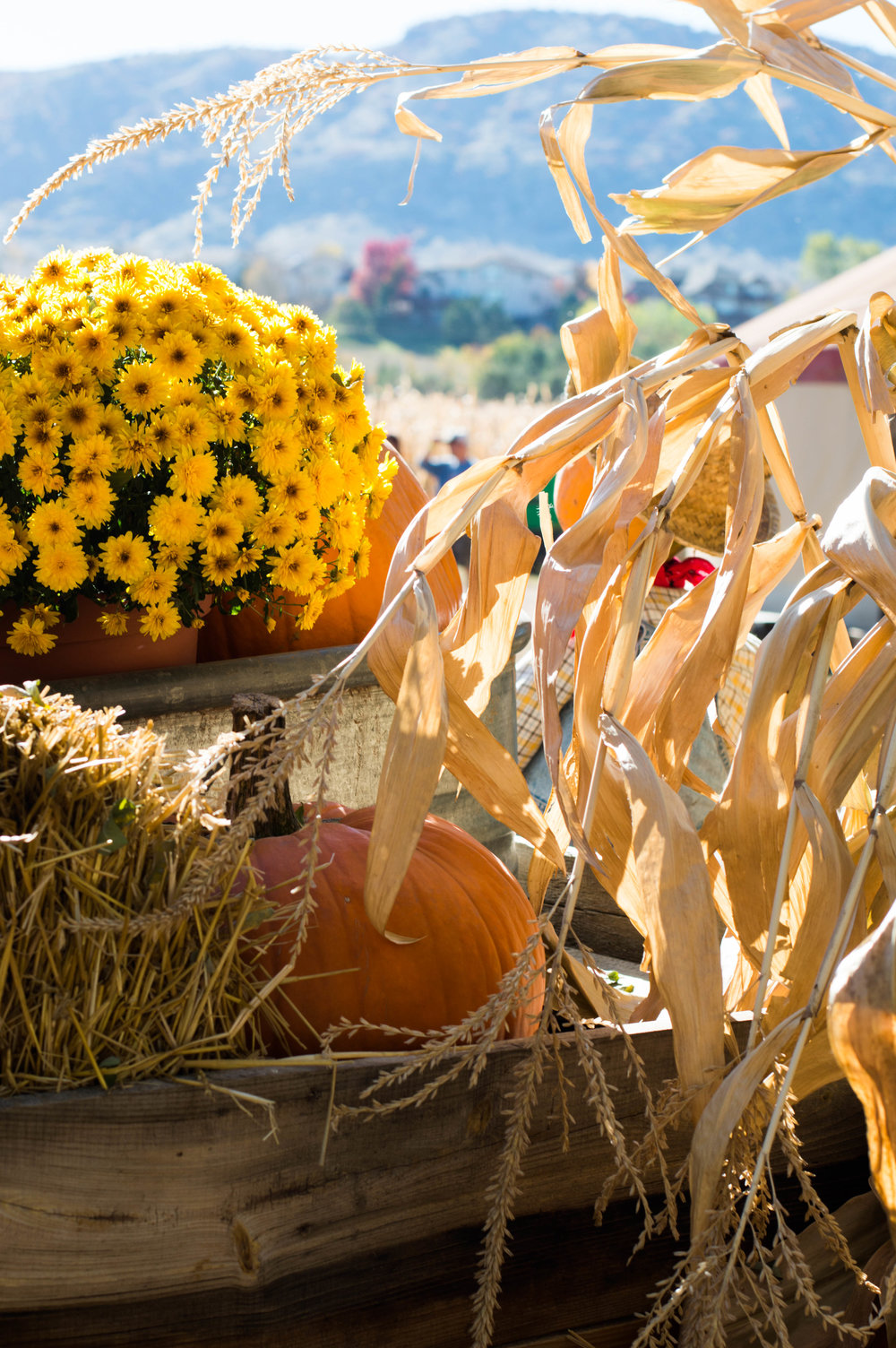 pumpkin patch denver.jpg