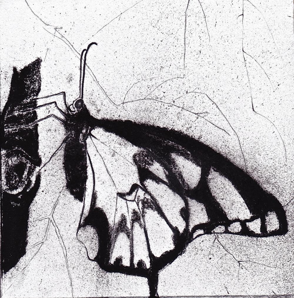 Giant Swallowtail Ventral.jpeg