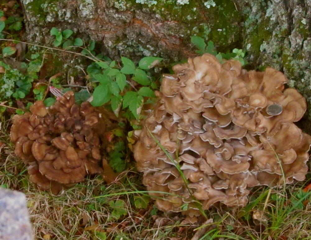 Maitaike mushrooms have many healthful properties.