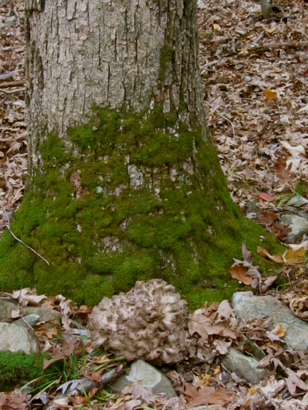 Maitaike mushroom growing at the base of a red oak tree.