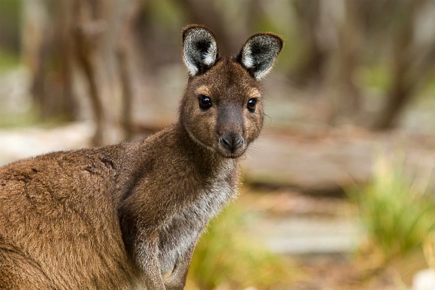 Green Screen Award nomination for Kangaroo Island: Life on the Edge — Walking Story