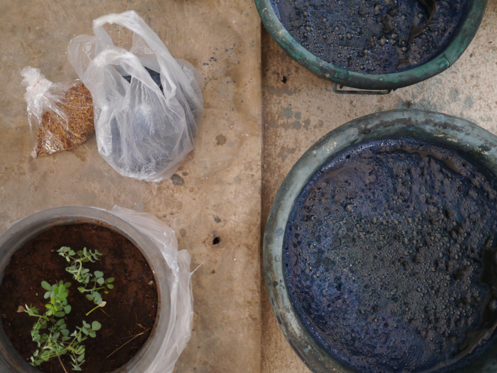 Clockwise from top left: natural indigo seeds, fermenting vats, and a young Indigofera Tinctoria plant.