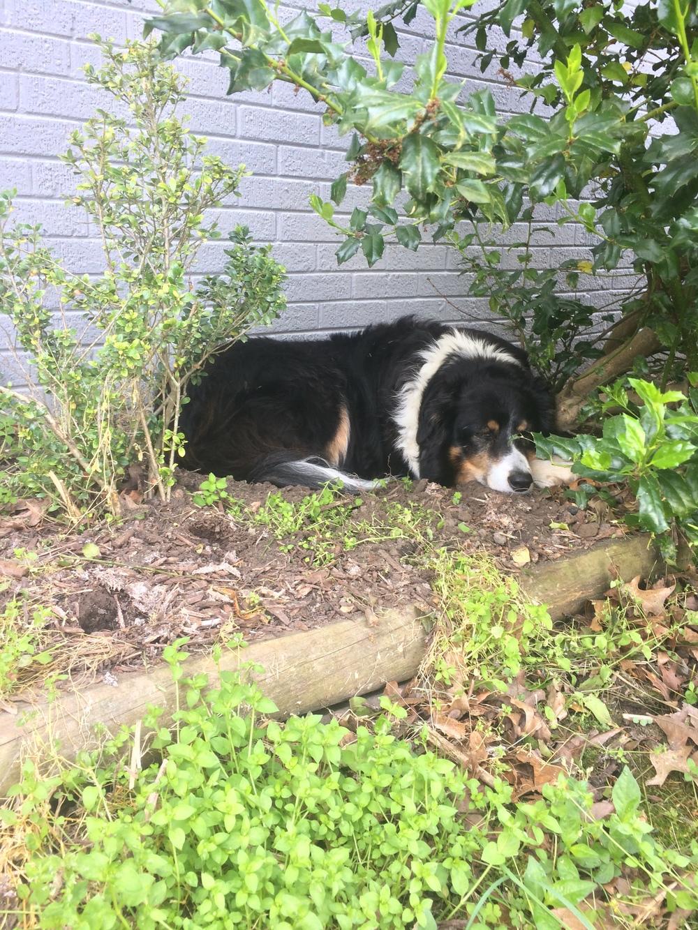 Winnie's shady spot. She dug herself a hole.