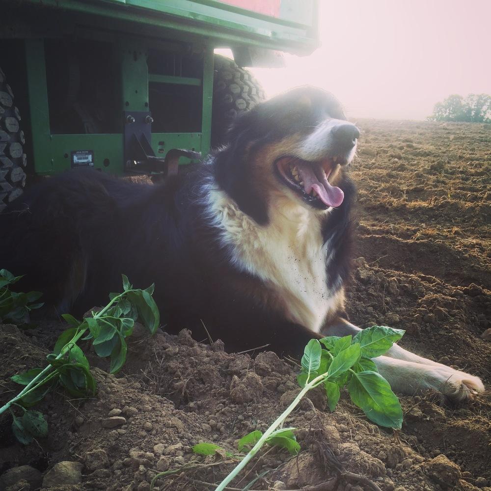 Winnie planting basil