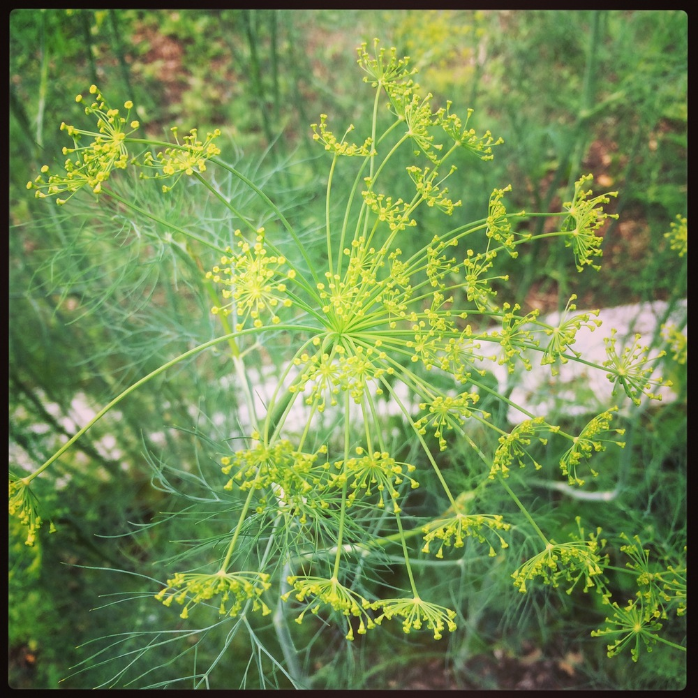 Lovely Dill Flowers