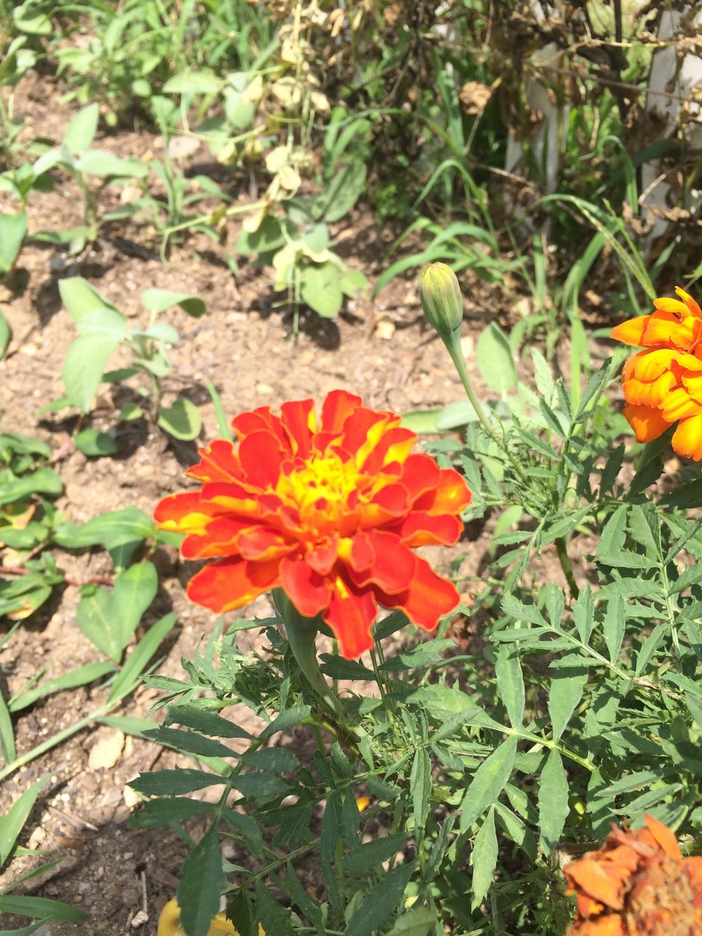 marigolds attract beneficial insects! So we have them around the farm