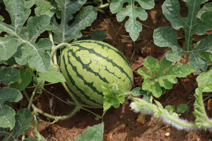 Watermelons are growing and getting big!