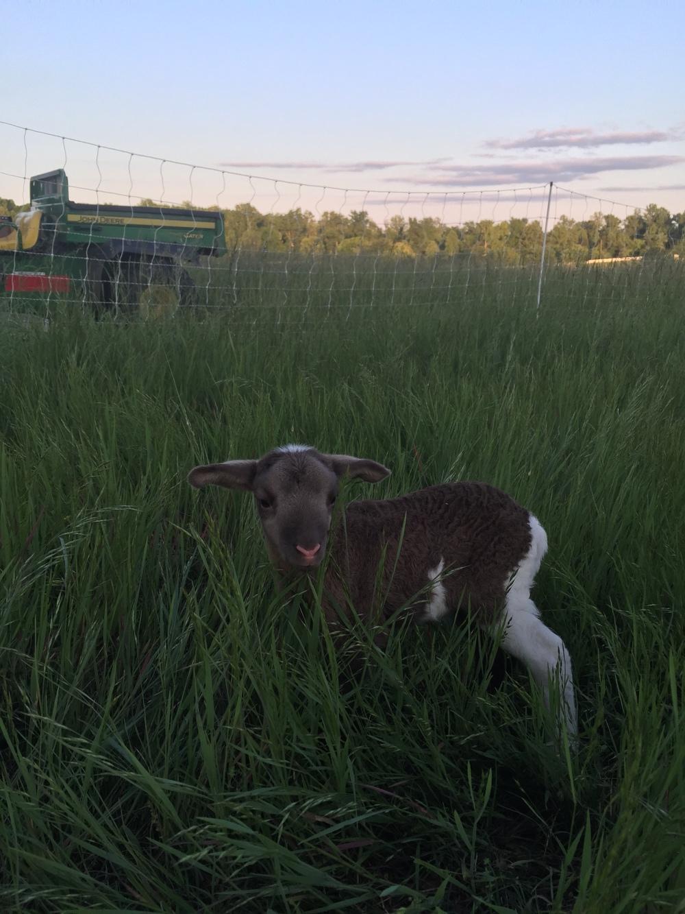 Tan lamb's brother.