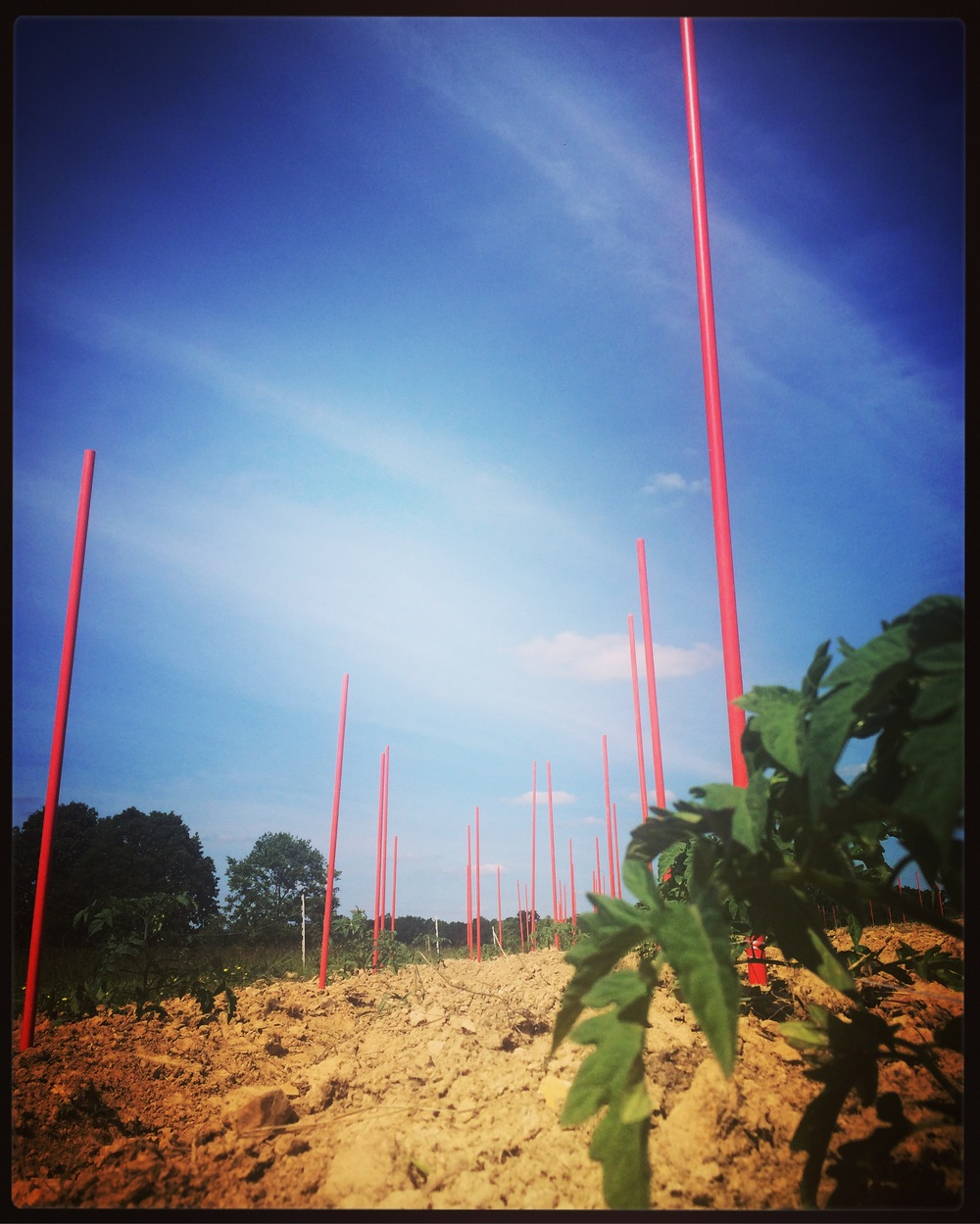 "Tomato stakes, string and the ""Florida Weave"" are what we use to keep the tomatoes off the ground!"