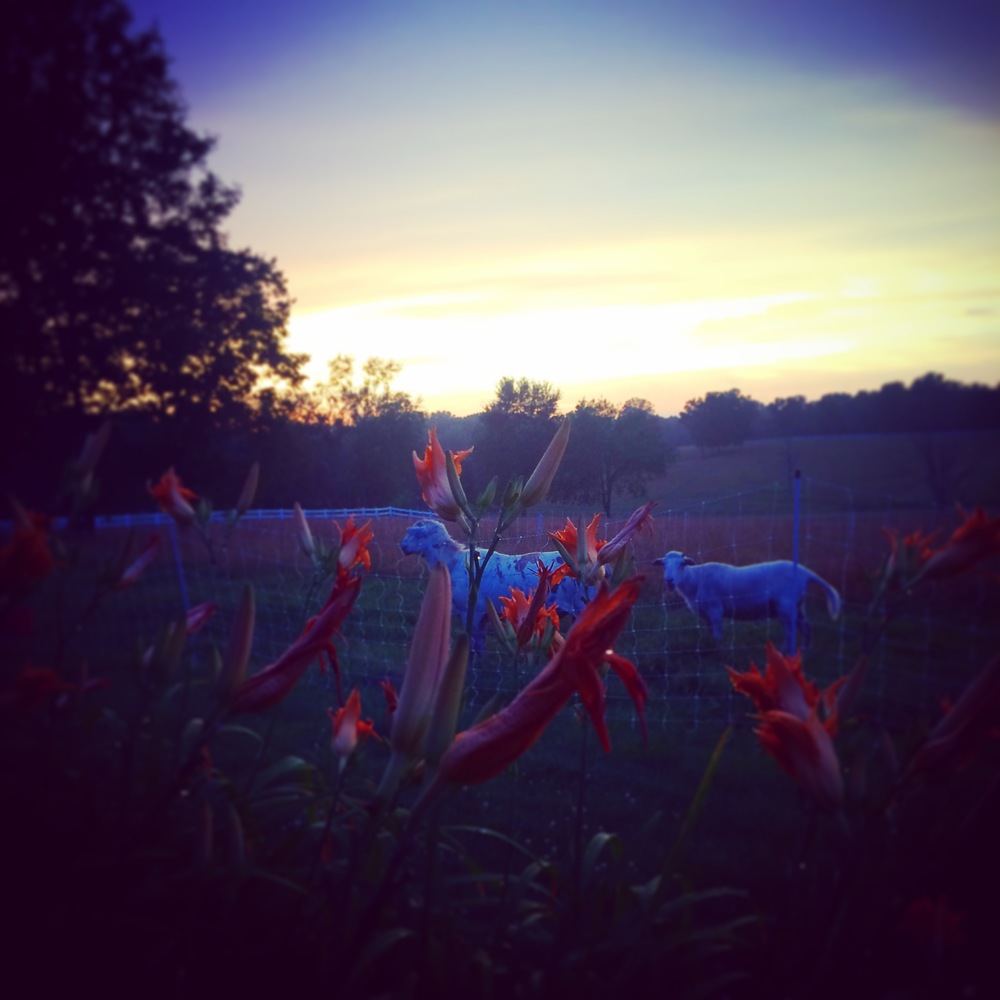 Our rams at sunset and some daylillies!