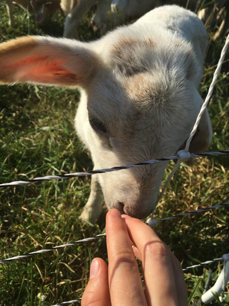 Baby Lamb.