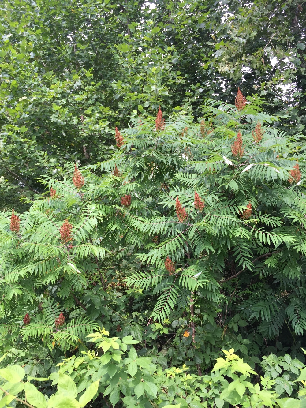 Sumac is flowering! The fruit is forageable and has a lovely sour taste.