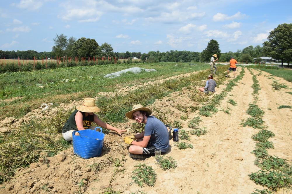 Digging potatoes!