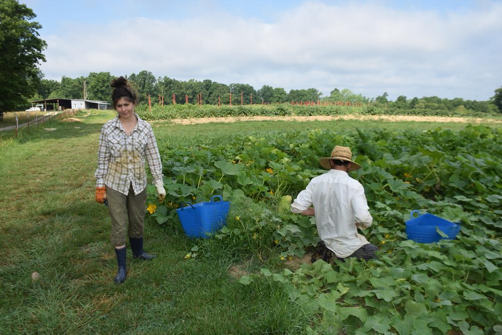 Cucurbit harvest with Monica!