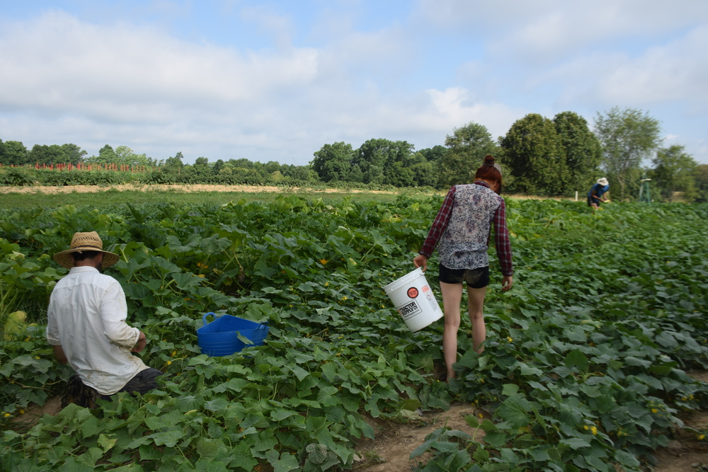 Jesse and Devan harvesting cukes and squash!